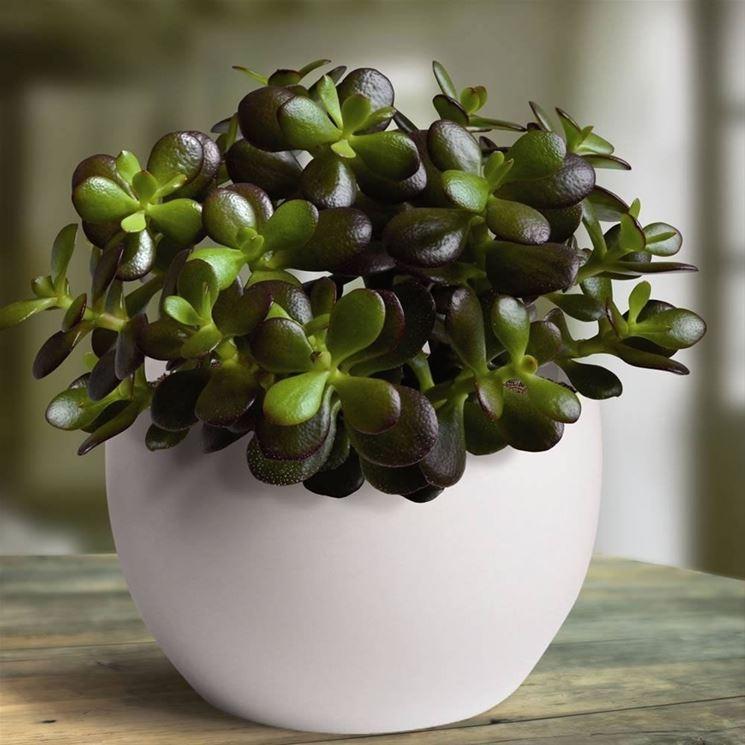 Piante grasse cura - Piante Grasse - Come curare le piante grasse