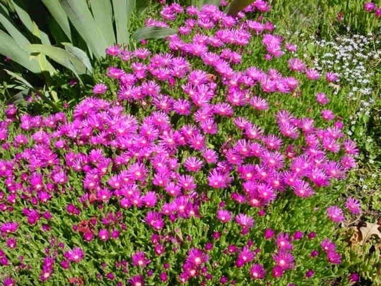 Fiori Per Giardino Perenni Cheap Fiori Da Giardino Perenni Come