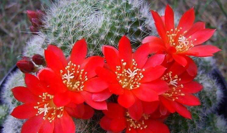 Alcune piante grasse hanno fiori dai colori vivaci