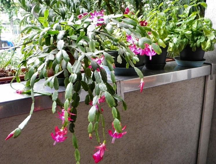 Piante grasse fiorite piante grasse piante grasse in fiore - Piante grasse da esterno pendenti ...