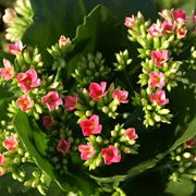 Piante grasse fiorite piante grasse piante grasse in fiore for Piante grasse fiorite da esterno