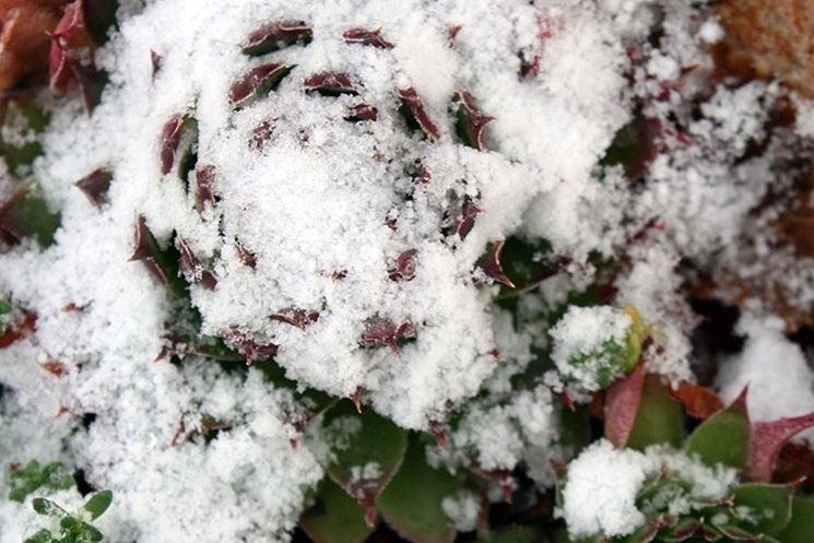 Pianta grassa sommersa dalla neve