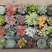 mini piante grasse