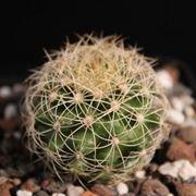 Origini delle piante grasse rare