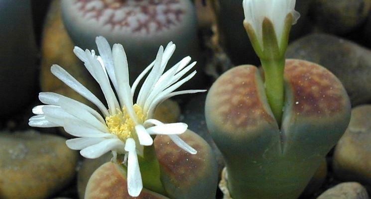 Lithops: momento della fioritura