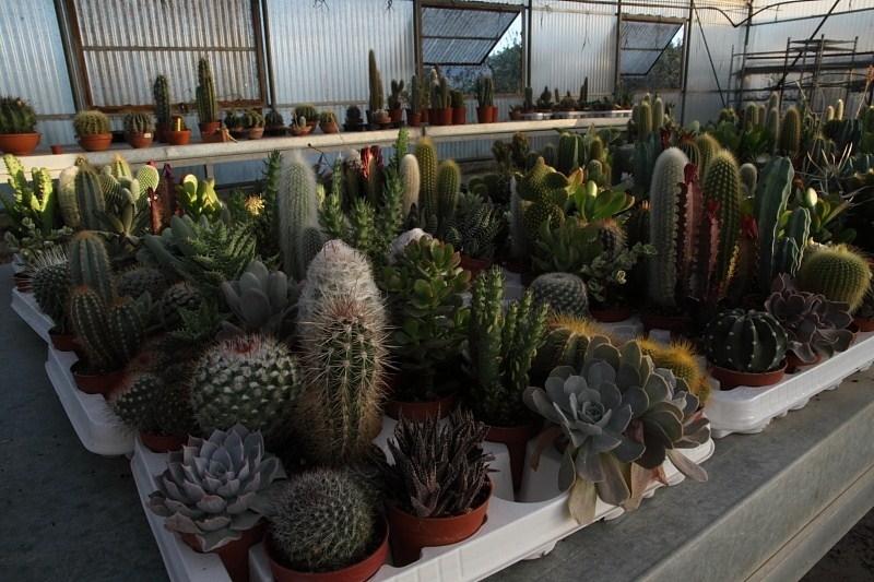 Piante grasse senza spine le piante grasse piante for Tutte le piante grasse