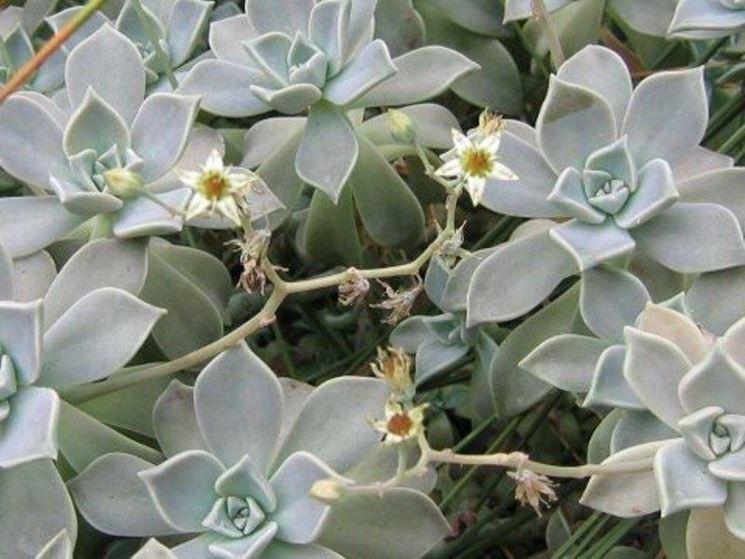 Esemplare di pianta grassa succulenta