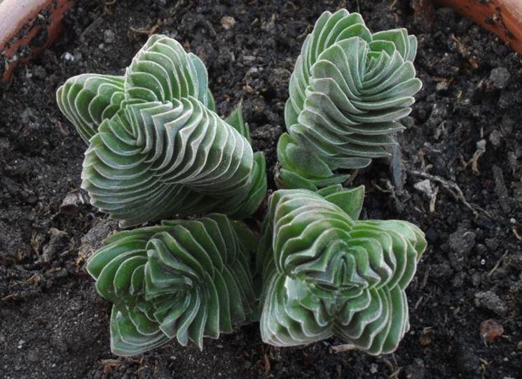 Piante grasse succulente piante grasse conoscere le for Piante rare