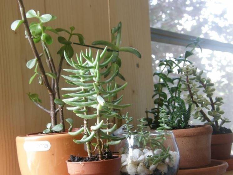 Piante grasse succulente piante grasse conoscere le for Tutte le piante grasse