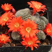 fiori piante grasse