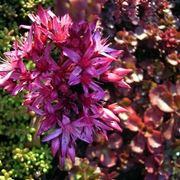 sedum spurium purpurteppich