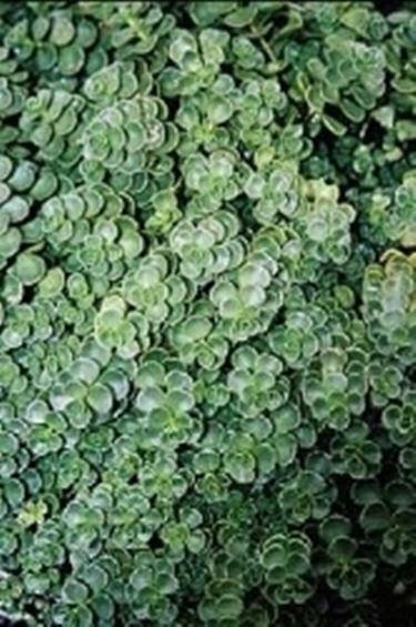 Sedum sedum spurium piante grasse caratteristiche for Piante da giardino perenni pieno sole