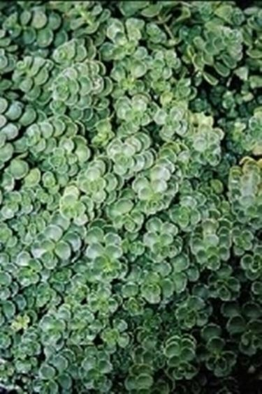 Sedum sedum spurium piante grasse caratteristiche - Piante basse perenni da giardino ...