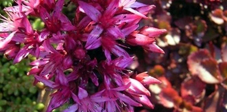 <h6>Sedum</h6>Il Sedum appartiene alla famiglia delle Crassulaceae. Sono considerate piante rustiche e di facile coltivazione.