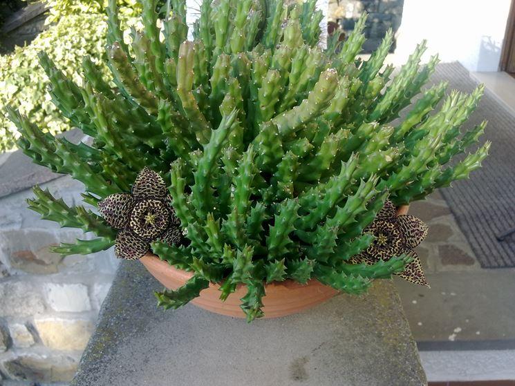 Semi piante grasse piante grasse semina piante grasse - Giardino piante grasse ...