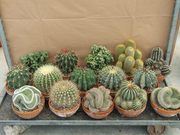 Semi piante grasse - Piante Grasse - Semina piante grasse