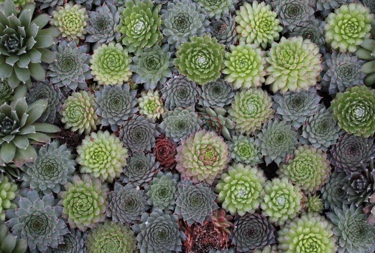 Pianta grasse sempervivum piante grasse pianta grasse - Giardino roccioso piante grasse ...