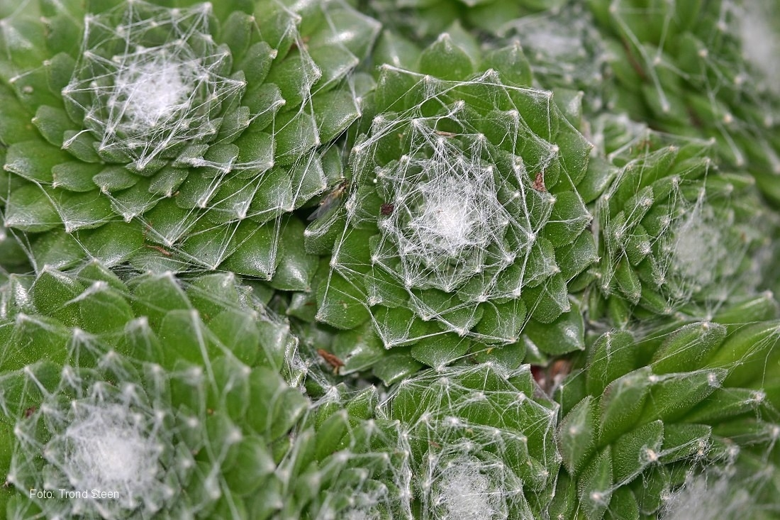 Pianta grasse sempervivum piante grasse pianta for Piante grasse in giardino