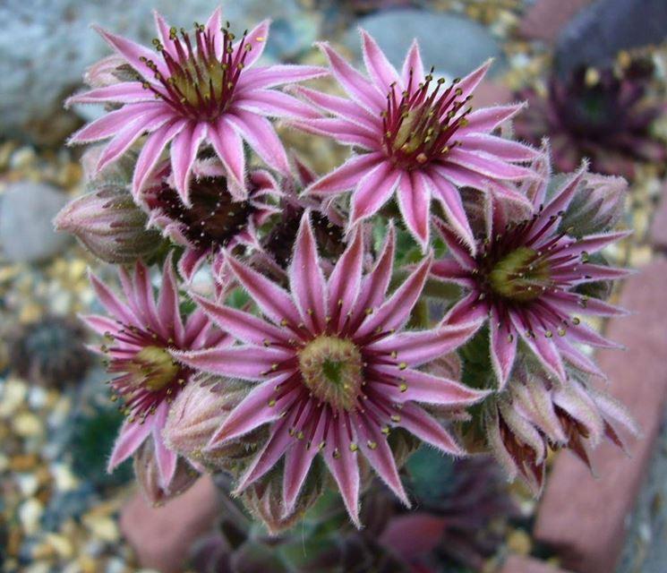 I fiori del sempervivum