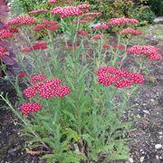 pianta di achillea millefolium