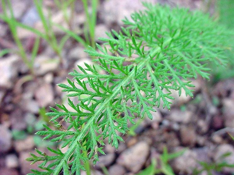 foglia di achillea millefolium