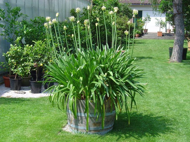 Agapanto pianta
