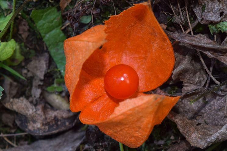 Il frutto arancione degli alchechengi