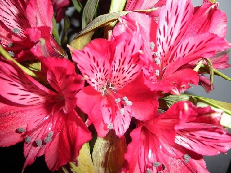 Alstroemeria rosa Louise