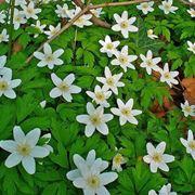 Mobili e arredamento: Piante tappezzanti perenni fiorite