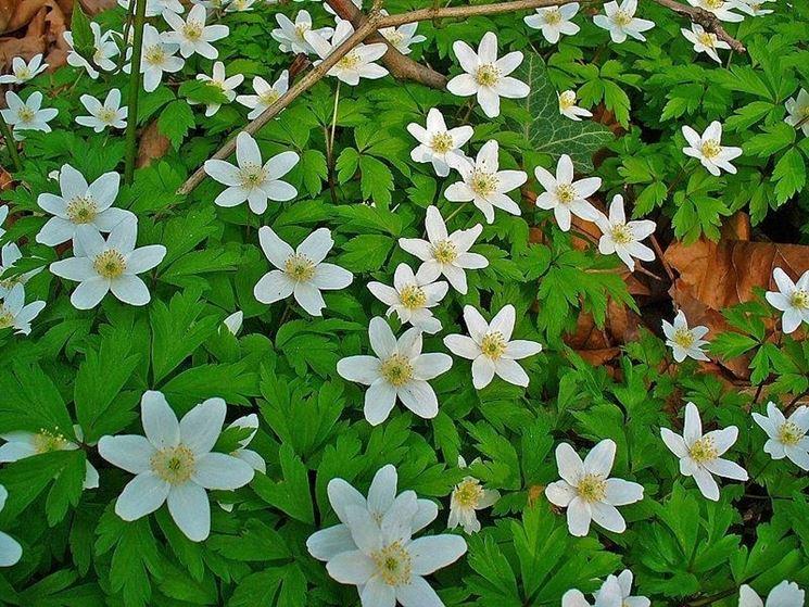 Anemone nemorosa fiorita