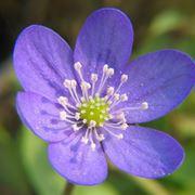 anemone nemerosa