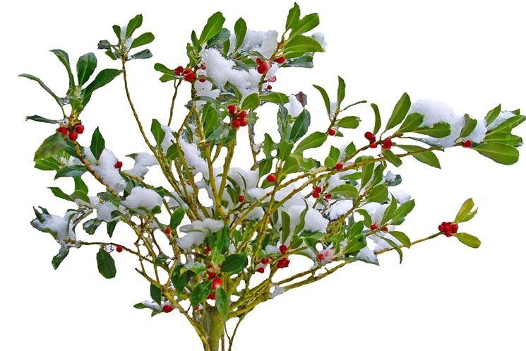 Arbusti sempreverdi piante perenni piante perenni for Arbusti sempreverdi