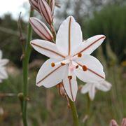 Fiore asfodelo bianco