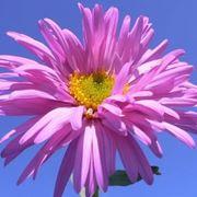 aster fiore