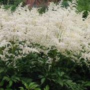 Astilbe con fiori bianchi