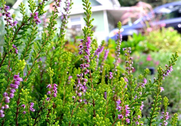 Fiore Calluna vulgaris