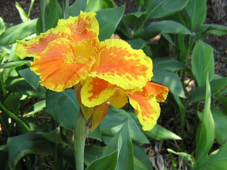 Fiore variegato