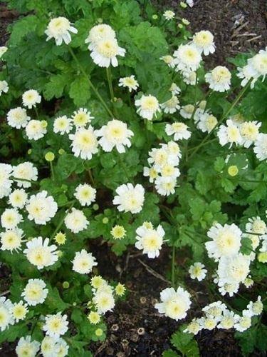 chrysanthmum parthenium flora pleno