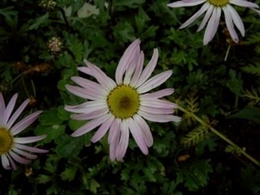 chrysanthemum weyrichianium