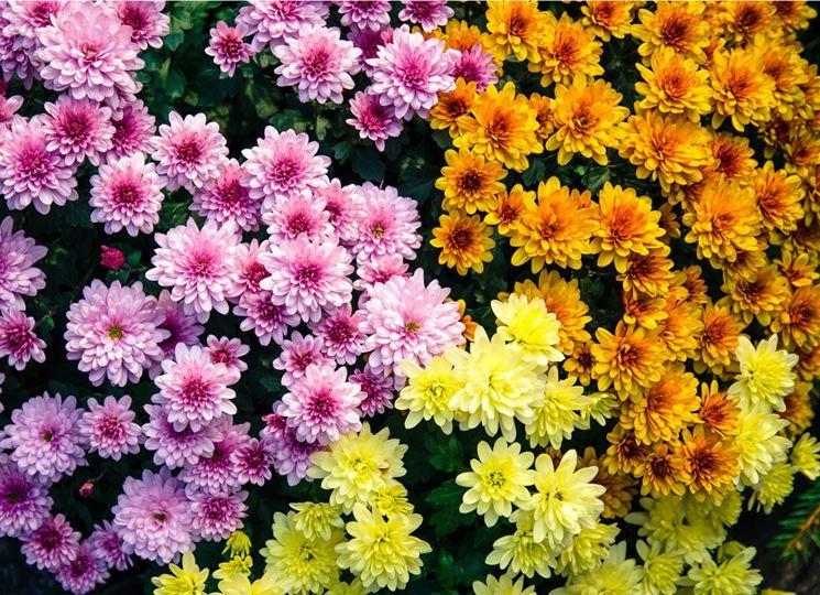 crisantemo fiore doppio