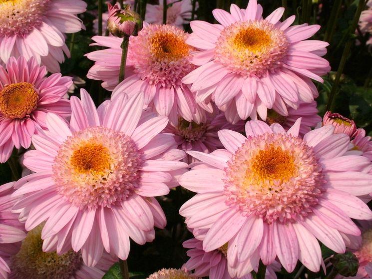 crisantemo fiore semplice