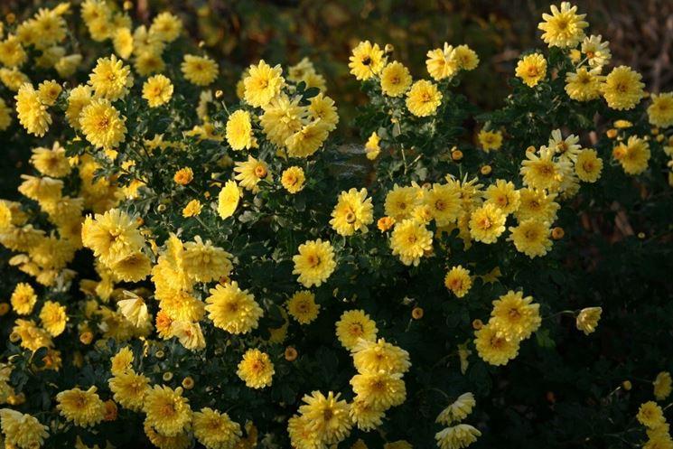 chrysanthmum fiore piccolo