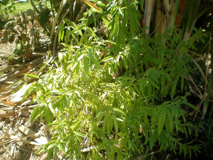 Cedrina piante perenni coltivare cedrina for Piante da frutto che resistono al freddo