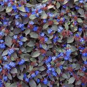 Tappetto di ceratostigma plumbaginoides in fiore