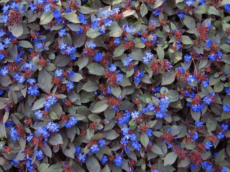 Tappetto di <strong>ceratostigma plumbaginoides</strong> in fiore