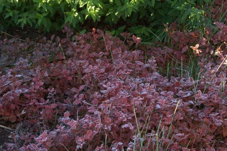 le foglie di Ceratostigma plumbaginoides in autunno