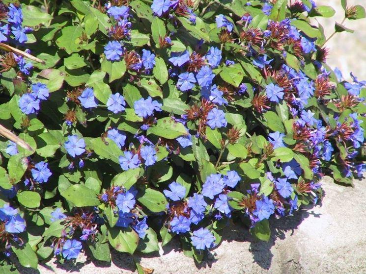 Ceratostigma plumbaginoides in piena fioritura