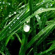 Pioggia convallaria japonica