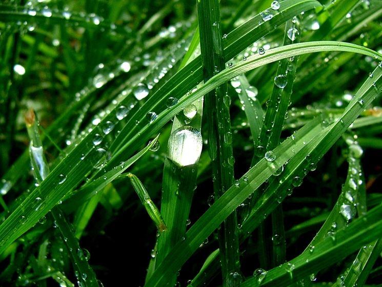 Pioggia <strong>convallaria</strong> japonica