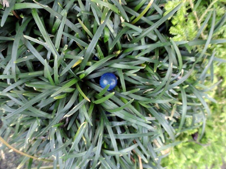 Bacca pianta perenne